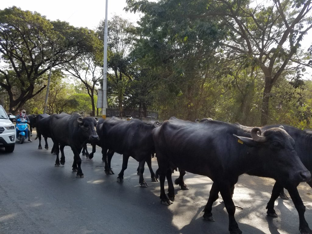 The buffalo take precendence over the cars